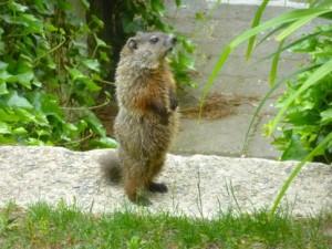 groundhog-300x225