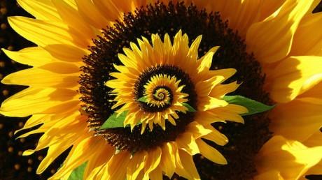 sunflower_620