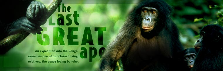 The Last Great Ape: An expedition into the Congo examines one of our closest living relatives, the peace-loving bonobo.