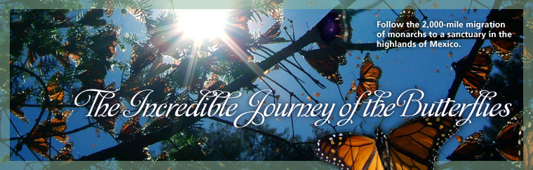 The Incredible Journey of the Butterflies: Follow the 2,000-mile migration of monarchs to a sanctuary in the highlands of Mexico. Airs on PBS January 27, 2009
