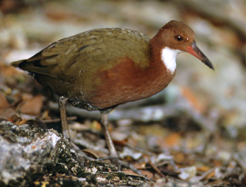 Abaco Flightless Rail