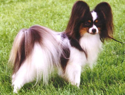 مواصفات اقتناء كلب Evol-papillon-l