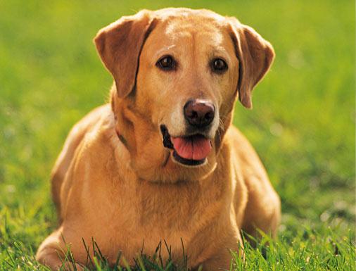 مواصفات اقتناء كلب Evol-yellowlab-l