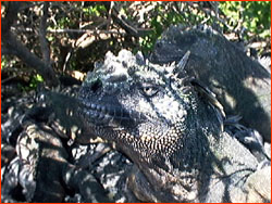 Marine Iguana, close up