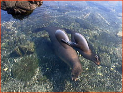 Pair of sea lions napping in shallow water near shore