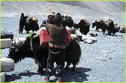 loading up the yaks