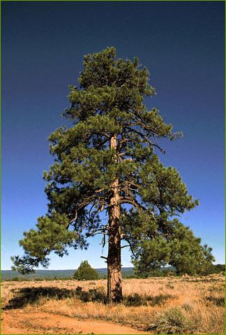 Nova online fire wars ponderosa pbs for Mature pine trees