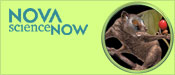 NOVA scienceNOW: First Primates