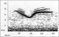 Spectrogram of American Redstart call