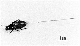 Ground beetle with diode and antenna attached