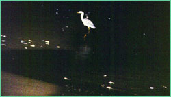 Heron at night on shore