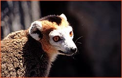 male crowned lemur