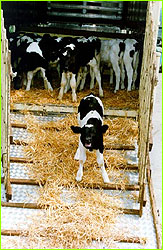 Calves waiting to be slaughtered during Mad Cow scare