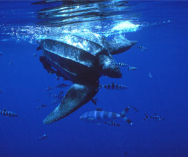 Leatherback turtles rely on the magnetic poles to navigate their migration routes