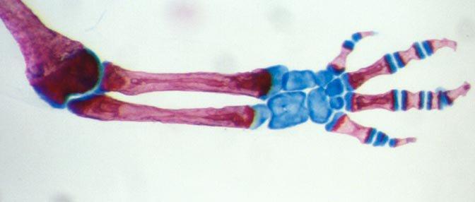 salamander limb