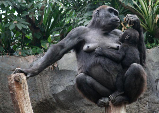 gorilla mom & infant