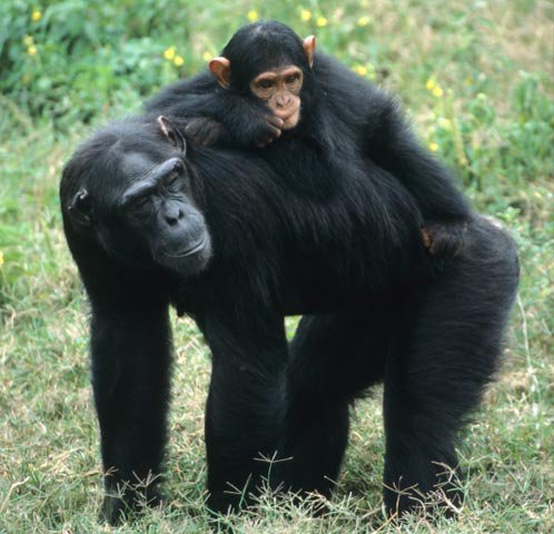 chimpanzee mom & infant