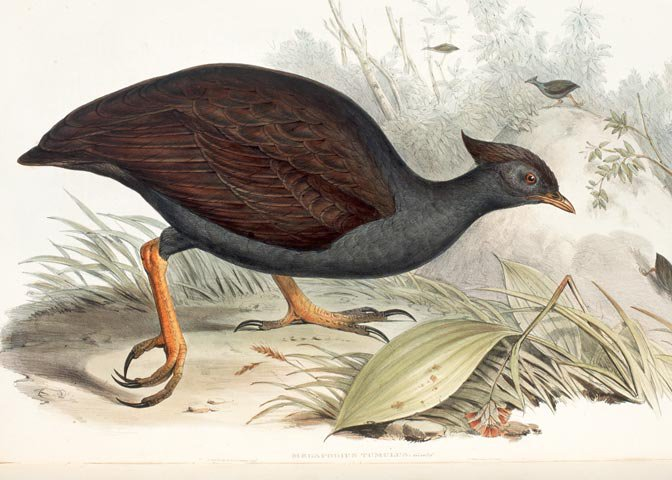 megapode illustration