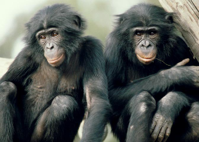 two bonobos