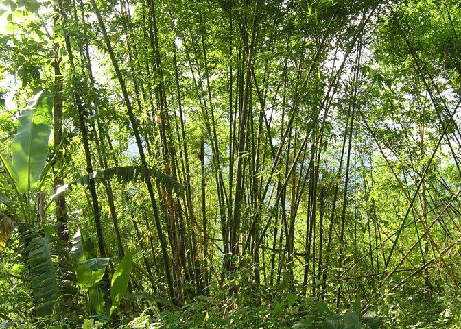 Melocanna bamboo