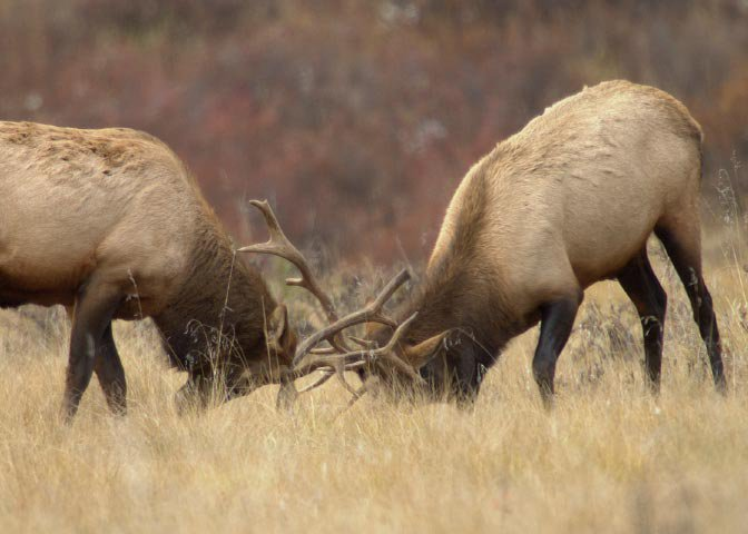 two bull elk with locked horns