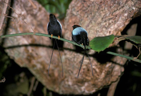 hand holding a male long-tailed manakin bird