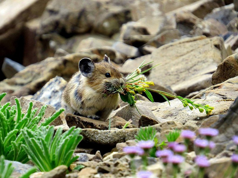 American pika with food (1).jpeg