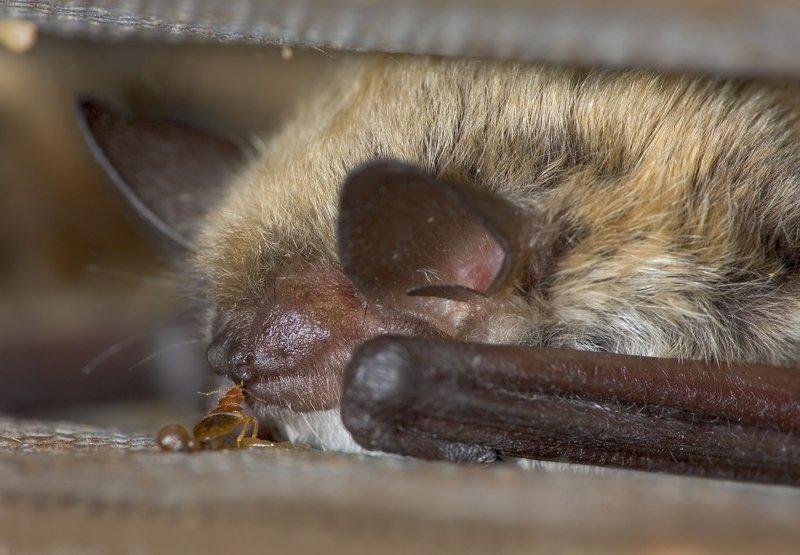 Bat and bed bug - credit Mark Chappell, Univ Cailf, Riverside.jpg