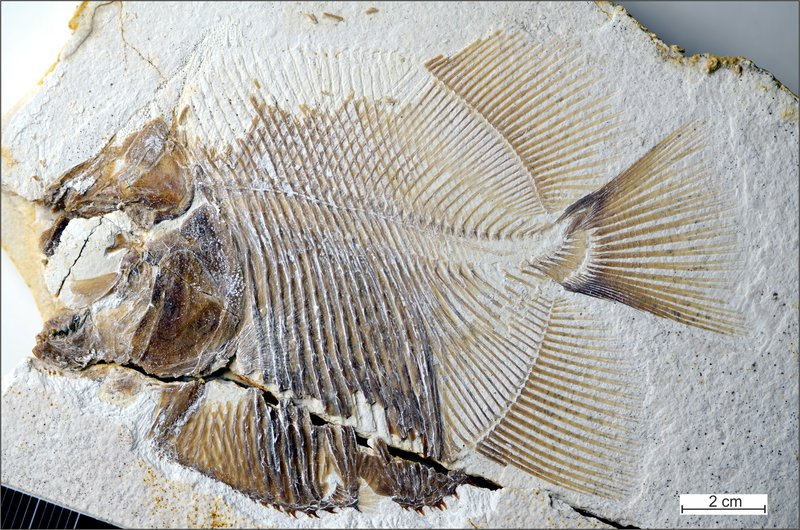 150 Million Year Old Fossil Fish