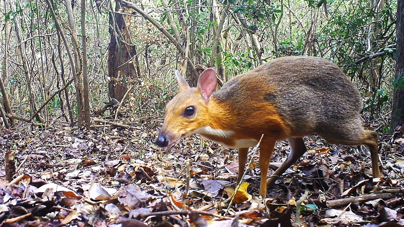 ncs015__ct015__2018-05-19__16-03-59(5)__Silver backed chevrotain.JPG