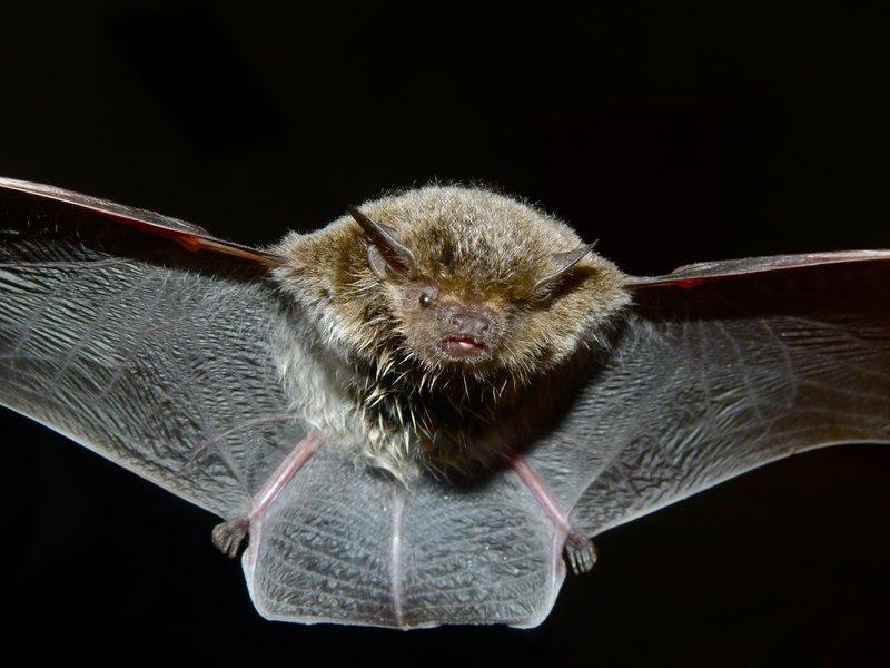 Cape Serotine Bat (Eptesicus capensis) bernard dupont flickr.jpg