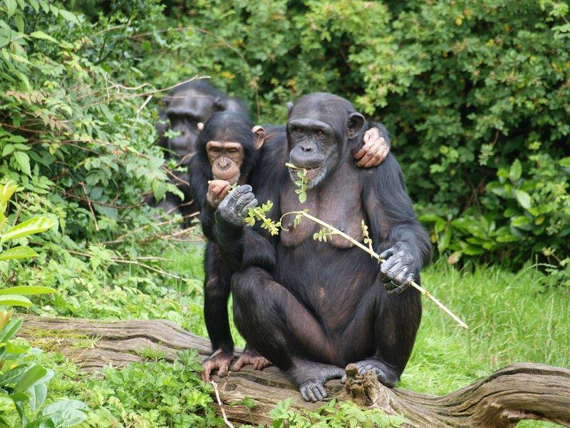 Chimpanzees_Chester_Zoo.jpg