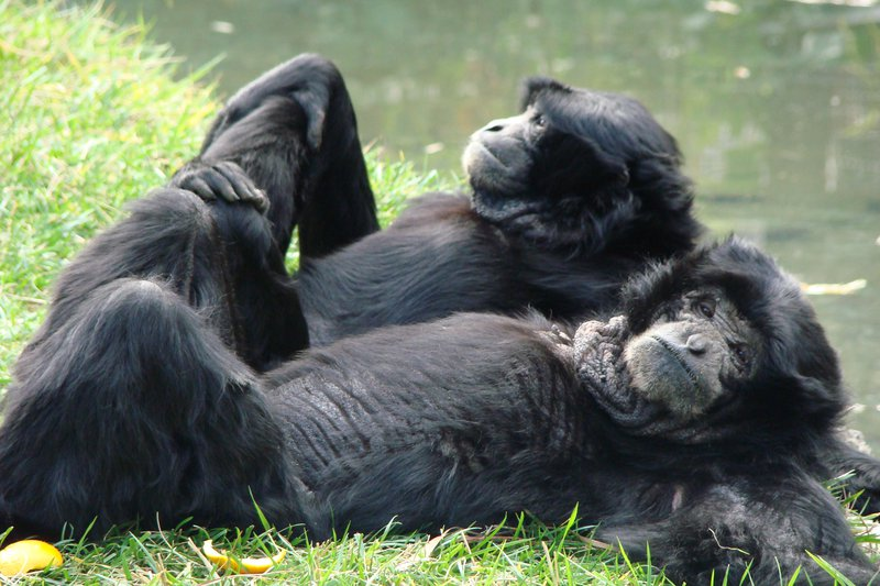 Two black apes lay in grass