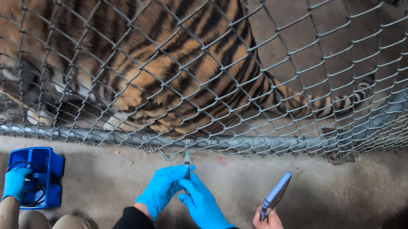 Tiger getting vaccine shot through metal cage
