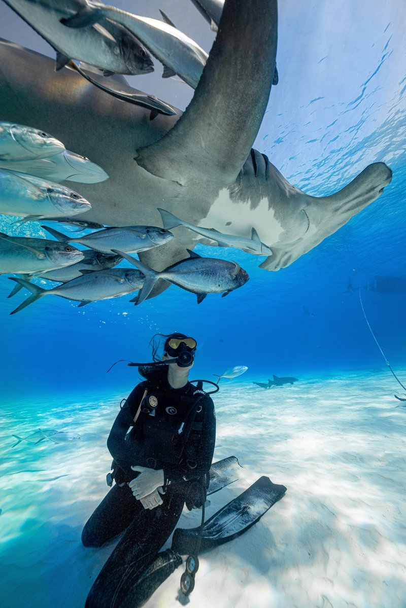 A great hammerhead shark swimming above a female scuba diver in the Bahamas