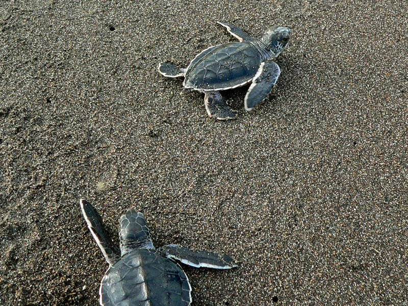 Green_Turtle_Hatchlings_(Chelonia_mydas)_(7087268043).jpg