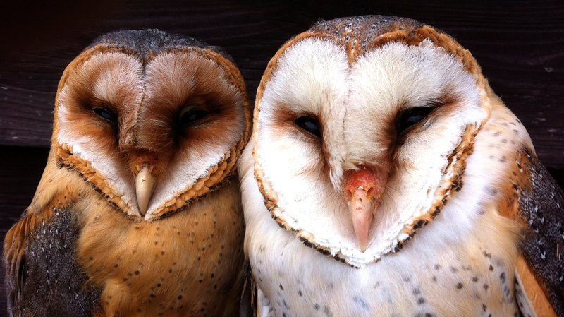 Moonlight turns white barn owls into terrifying 'ghosts' | NOVA ...