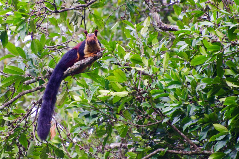 Indian_giant_squirrel_or_malabar_giant_squirrel.jpg