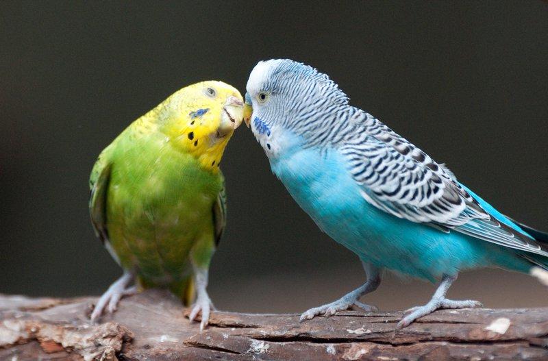 Melopsittacus_undulatus_-Fort_Worth_Zoo,_Texas,_USA-8a.jpg
