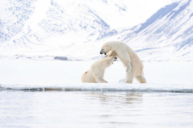 MichaelGinzburg_Mating_bears_foreplay_fight.jpg