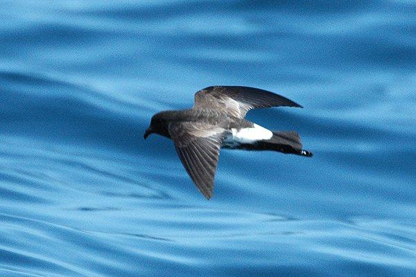 Oceanites_maorianus.jpg