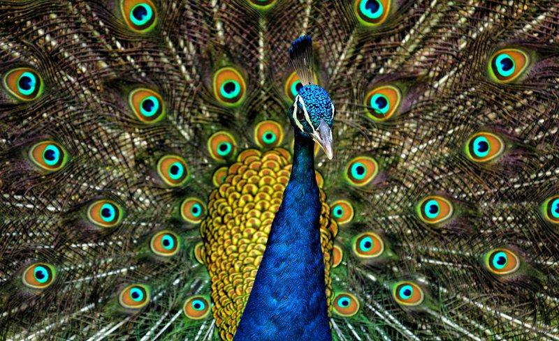 Peacock_Plumage.jpg