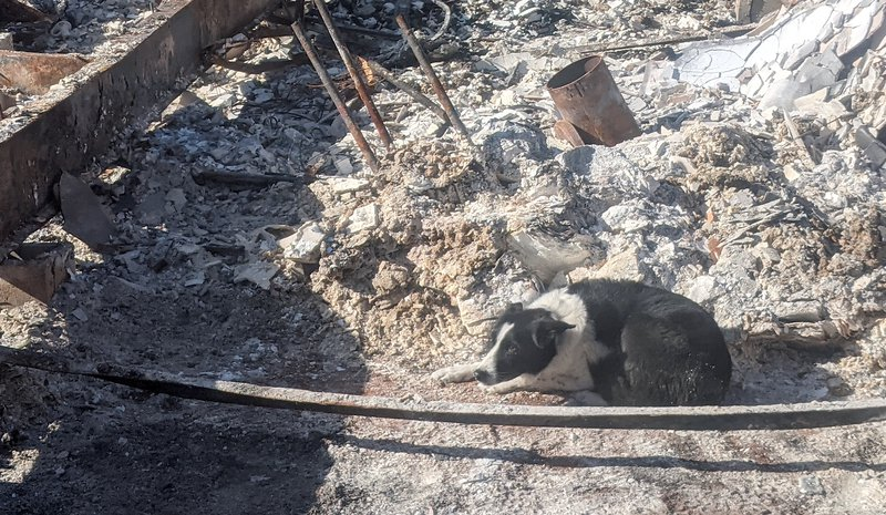 Border collie lies down in ashes of burned home