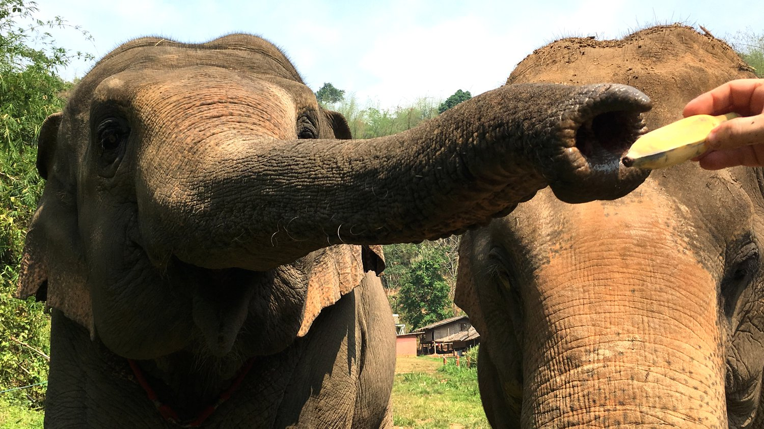 Elephants Can Use Scent To Distinguish More From Less