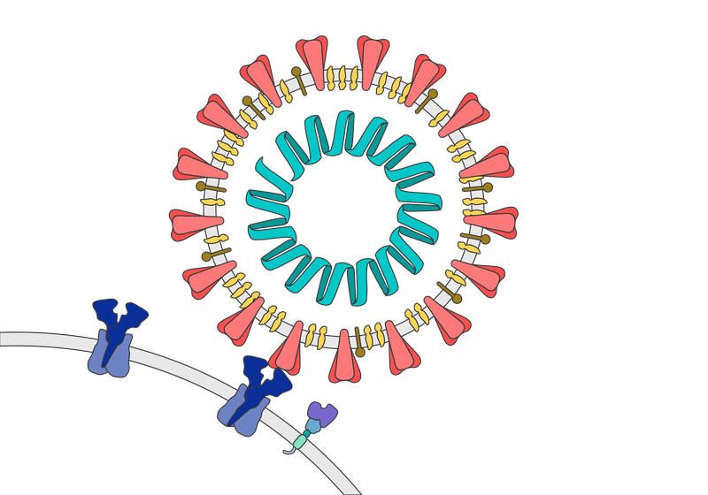 Virus particle attaching to receptor