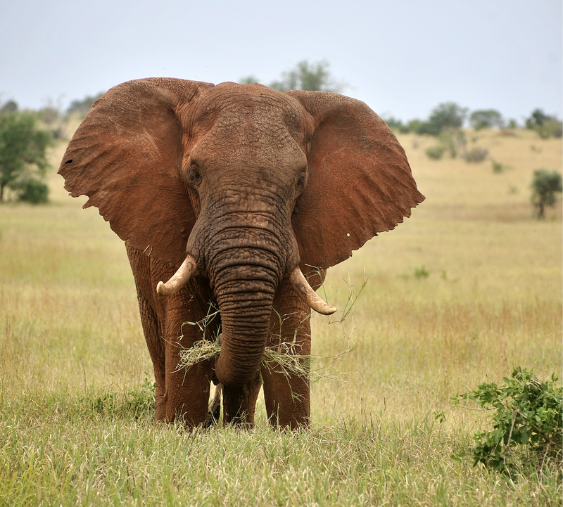 African elephant.png