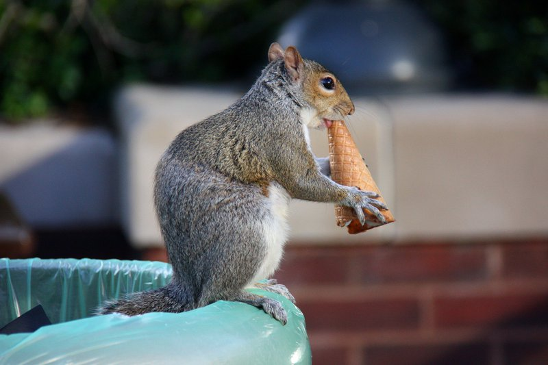 Squirrel_eating_an_ice_cream_cone_(3558009610).jpg