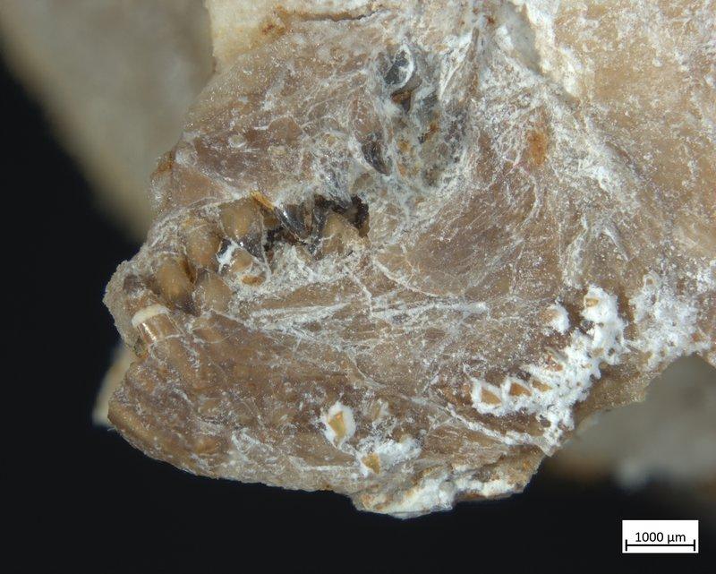 Fossilized Fish Teeth