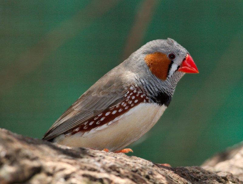 Taeniopygia_guttata_-_profile_-_dundee_wildlife_park.jpg
