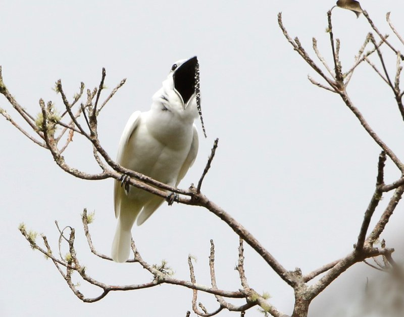 This image shows a male white bellbird screaming its mating call 2 CREDIT Anselmo d'Affonseca.jpg